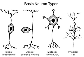 Figure 10: Basic neurons types: an ever-growing diversity. The 3-D representatiion of neurons adds more understanding to how neuronal networks work.