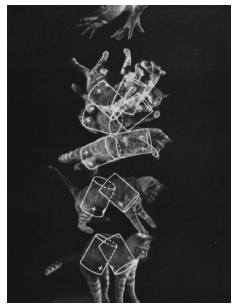 Figure 4: This image is representative of the Kane-Scher (1969) solution to why cats fall on their feet (reproduced from Mehta, 2012).