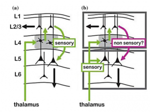 Fig. 3 The thalamus is not only a stopover for sensory data, but also a locus for data generation [36]