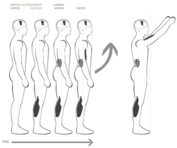 Figure 6. Before arms are raised, muscles in the back of the legs tighten