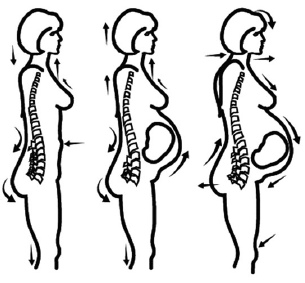 Figure 1. Anatomical changes in anticipation of pregnancy challenges.